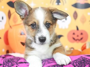 Pembroke Welsh Corgi-DOG-Male--