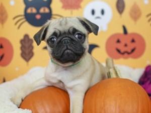 Pug-DOG-Female--