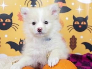 Pomeranian-DOG-Male--