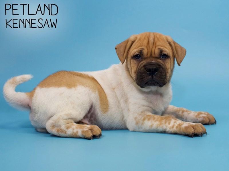 Ori Pei-DOG-Male-FAWN WH-2868507