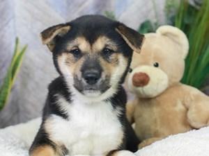 Shiba Inu-DOG-Male--