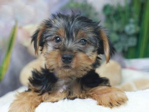 Yorkshire Terrier-DOG-Male-Blue and Tan-