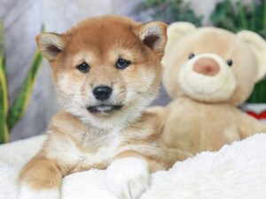Shiba Inu-DOG-Female--
