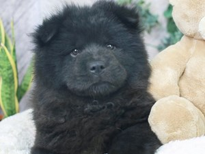 Chow Chow-DOG-Female--