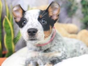 Australian Cattle Dog-DOG-Female-Blue Mottled-