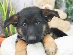 German Shepherd-DOG-Male--