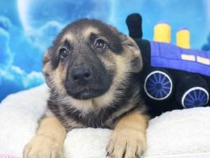 German Shepherd-DOG-Female-Black and Tan-
