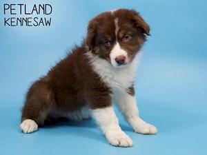 Australian-Shepherd-DOG-Male-2886019