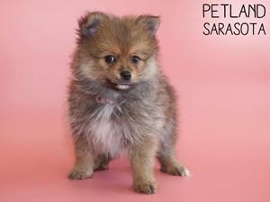 Pomeranian-DOG-Female-2886094