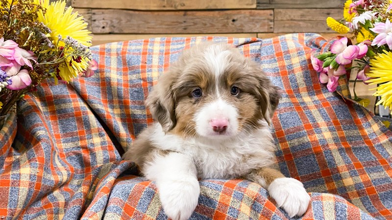 Grand Rapids Toy Australian Shepherd Puppies