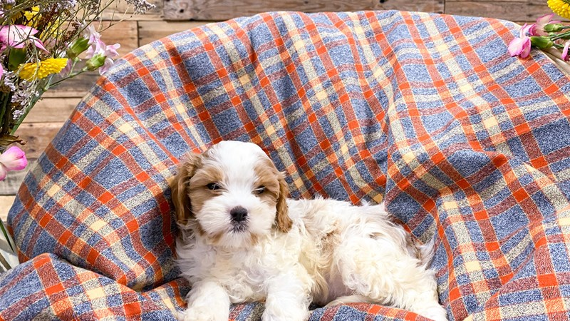 Grand Rapids F1b Cavachon Puppies