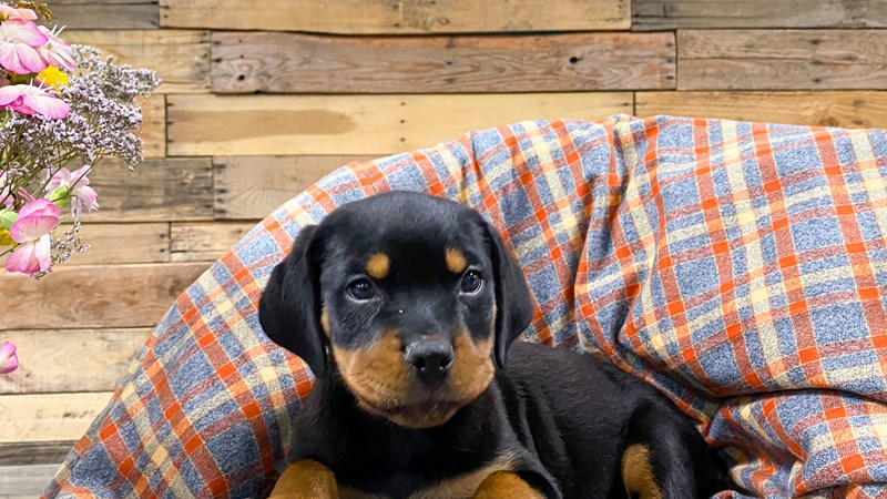 Grand Rapids Rottweiler Puppies
