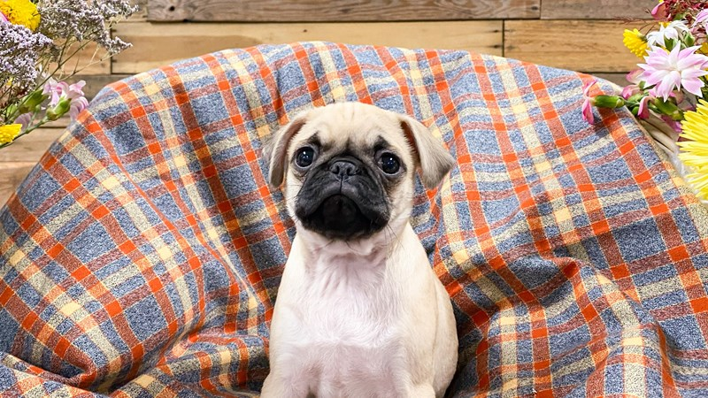 Grand Rapids Pug Puppies