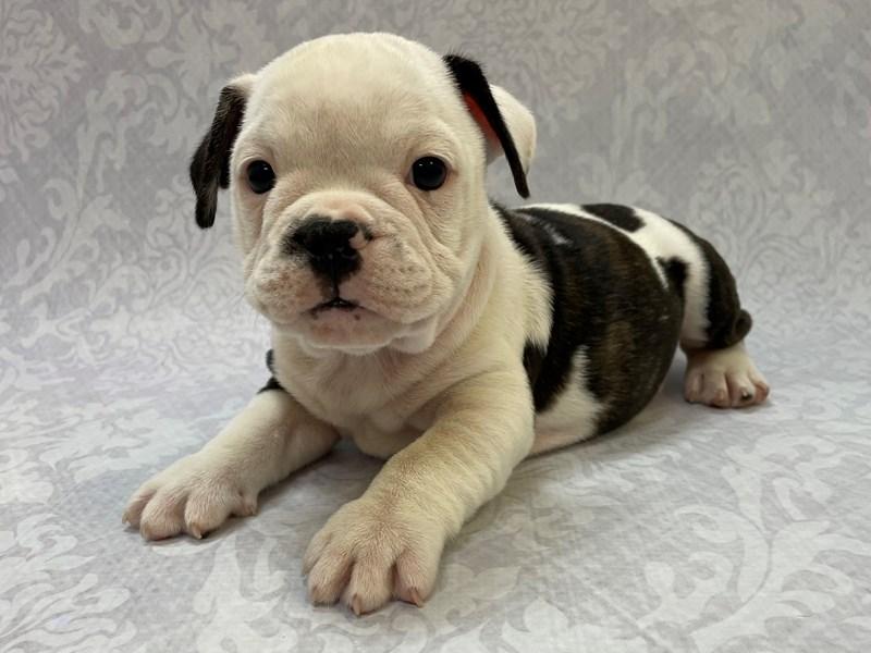 Frenglish Bulldog