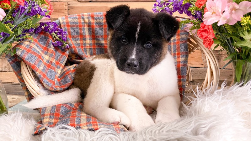 Grand Rapids Akita Puppies