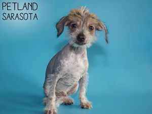 Chinese-Crested-DOG-Male-2907297