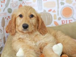 Goldendoodle-DOG-Female--