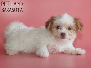 Havanese-DOG-Female-2910828