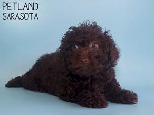 Miniature-Poodle-DOG-Male-2911095