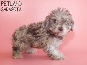 Miniature-Poodle-DOG-Female-2911098
