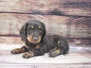 Dachshund-DOG-Male-Chocolate and Tan-
