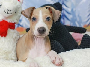 Italian Greyhound-DOG-Male--