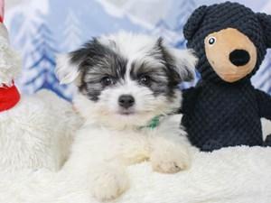 Coton De Tulear-DOG-Male--
