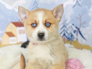 Pomsky-DOG-Female--