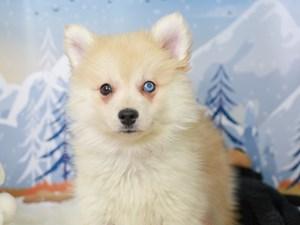 Pomsky-DOG-Female-Cream-