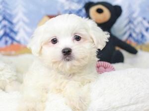 Peketese-DOG-Female--