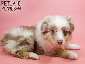 Australian-Shepherd-DOG-Female-2921706