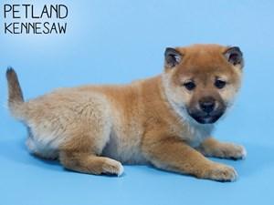Shiba-Inu-DOG-Male-2921570