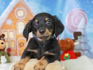 Chiweenie-DOG-Male--2927462