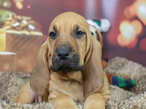 Bloodhound-DOG-Male--2934751