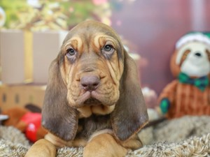 Bloodhound-DOG-Female--2934755