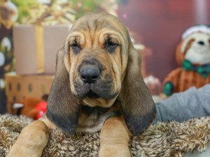 Bloodhound-DOG-Male--2934753