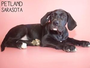 Great-Dane-DOG-Female-2937292