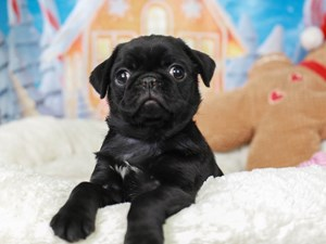 Pug-DOG-Female--
