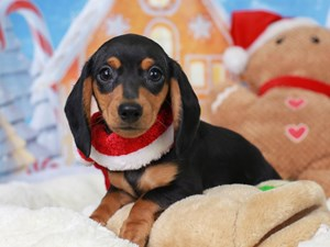 Dachshund-DOG-Male--2941412