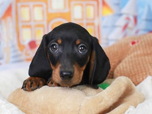 Dachshund-DOG-Male--2941413