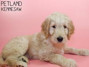 Goldendoodle-DOG-Female-2940791