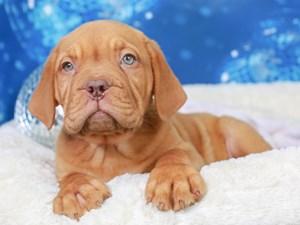 Dogue De Bordeaux-DOG-Female--2948750
