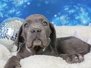Neapolitan Mastiff-DOG-Male--