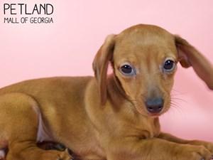 Dachshund-DOG-Female-2947538