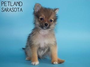 Pomeranian-DOG-Male-2951305