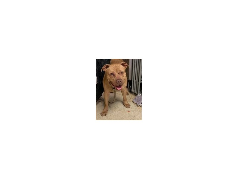 American Pit Bull Terrier-DOG-Male-Brown-2958450
