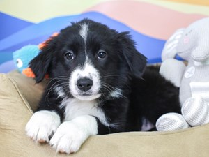 Australian Shepherd-DOG-Female-Black and White-2957407