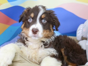 Australian Shepherd-DOG-Male--2958247