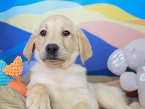 Labrador Retriever-DOG-Male--