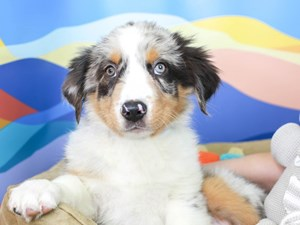 Australian Shepherd-DOG-Male-Blue Merle White and Tan-2957404